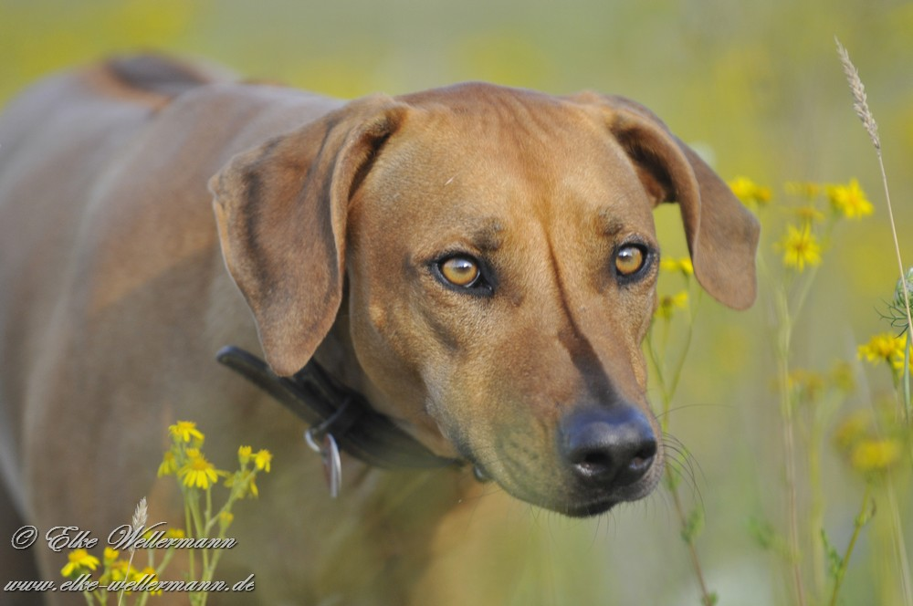 Brindle Rhodesian Ridgeback And Retriever Mix | Dog Breeds Picture